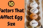10 Factors That Affect Egg Size