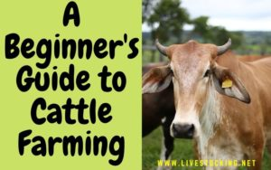 Guide to Cattle Farming