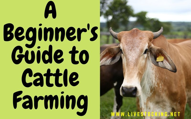A Beginner's Guide to Cattle Farming [Free Ebook Included]