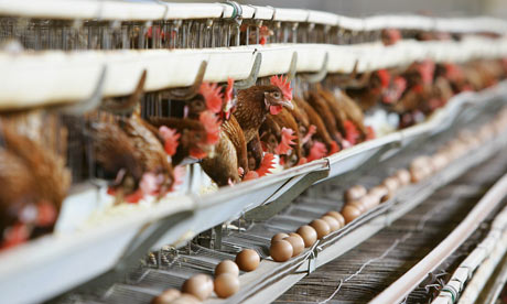 Egg Production Cycle of Laying Chickens