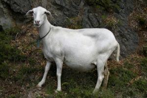 a pregnant sheep