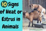 10 Signs of Heat You Should Know as a Livestock Farmer