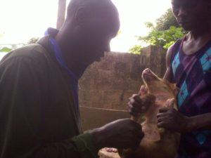 how to castrate piglets