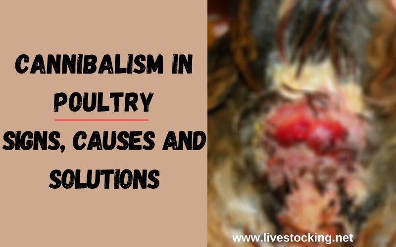 Cannibalism in Poultry: Signs, Causes and Solutions