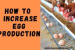 How to Boost or Increase Egg Production