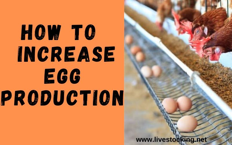 How to Increase Egg Production