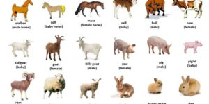 Livestock – Definition, Examples & Importance