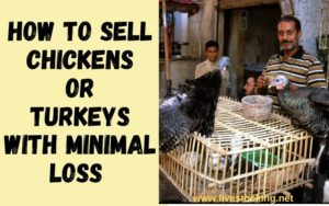 How to sell chicken with minimal loss