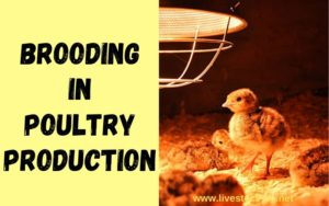 Brooding in Poultry Production