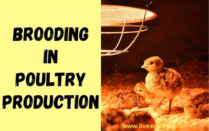 Brooding in Poultry Production – An Overview