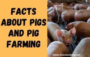 Facts about Pigs and Pig Farming (1)