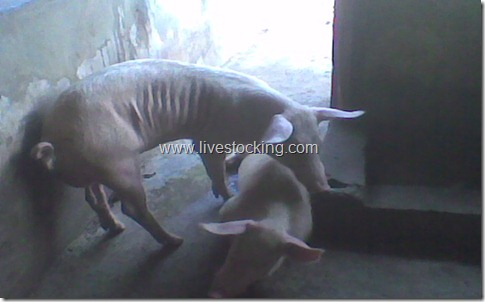 Facts about Pig Farming Business