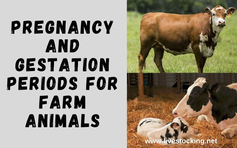 Pregnancy and gestation periods for farm animals