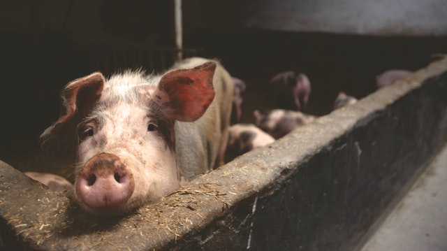facts about pigs and pig farming