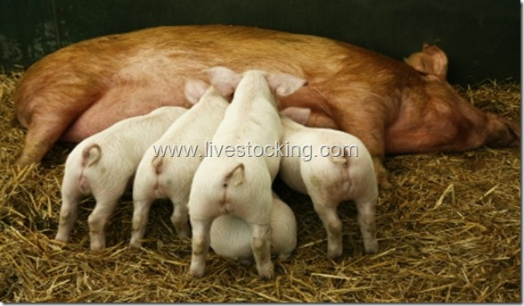 4 Vital Tips For Beginner Small-Scale Pig Farmers