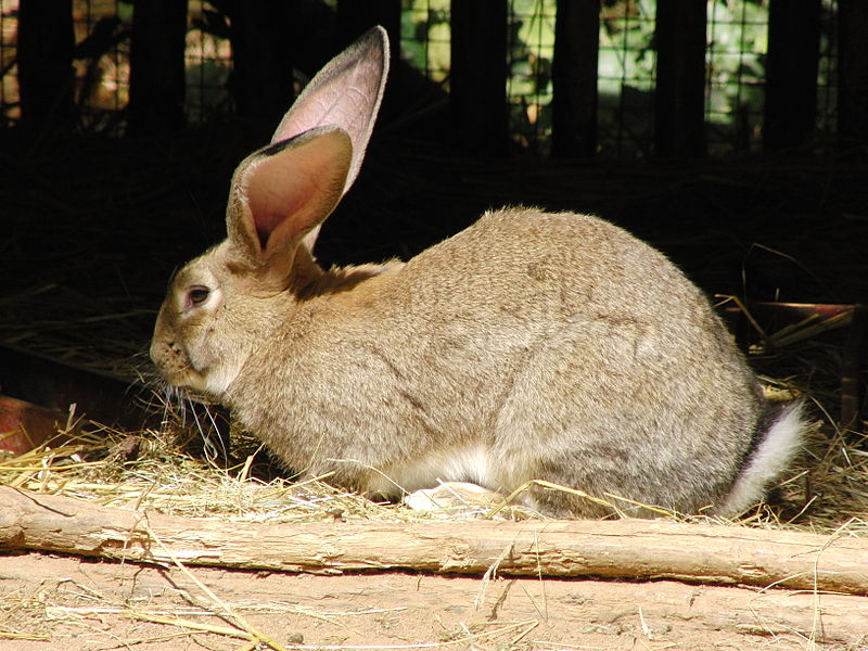 flemish giant breed