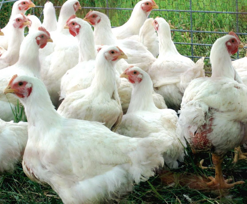 How to Raise Broiler Chickens Successfully