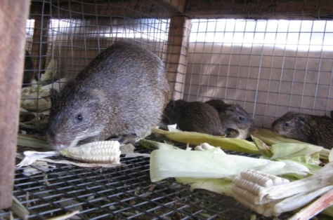 6 Reasons Why You Should Raise Grasscutters or Cane Rats
