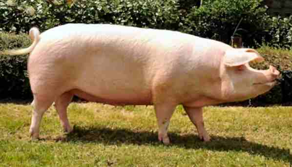 landrace pig breed