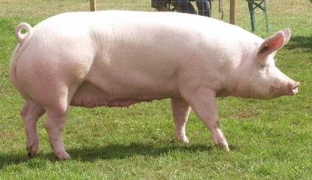 large white pig breed