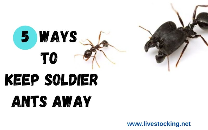 5 Effective Ways to Keep Soldier Ants Away