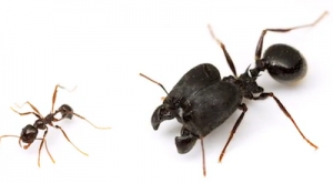 Soldier Ants
