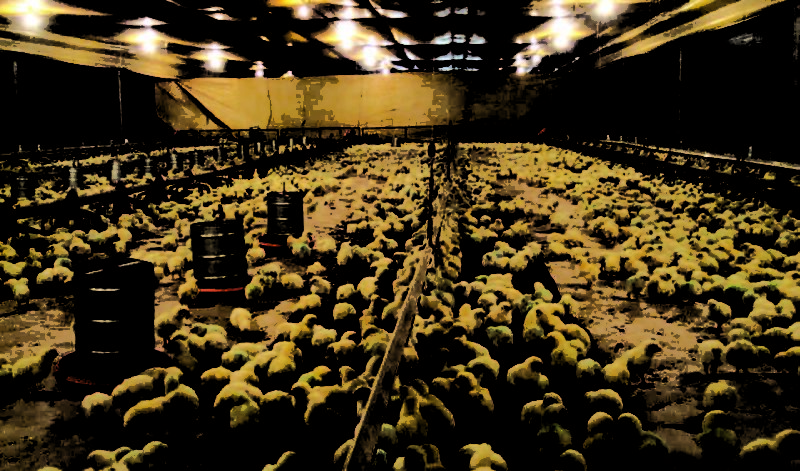 5 Common Mistakes Some Poultry Farmers Make During Brooding