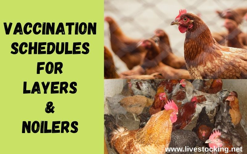 Vaccination Schedules for Layers & Noilers