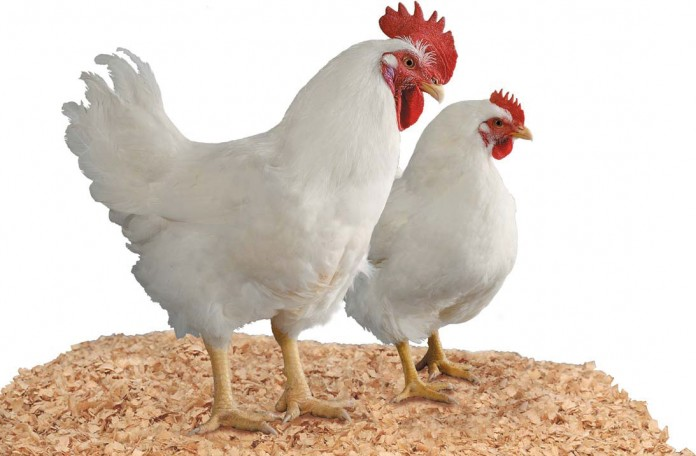 male and female broilers