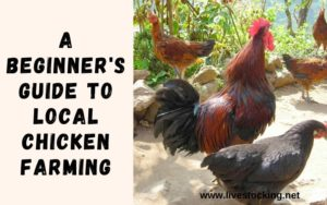 Beginners Guide to Local Chicken Farming