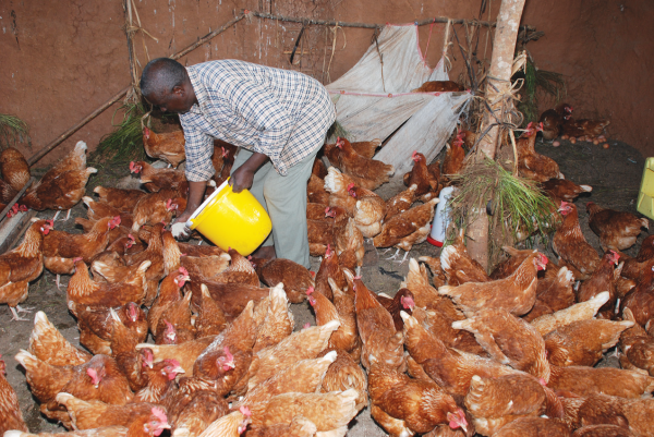 How to start local chicken farming for eggs/chicks production [Free Ebook Included]