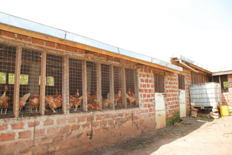 Guide how to start local chicken farming for eggs chicks for How to start building a house