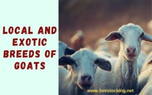 Local and exotic breeds of goats