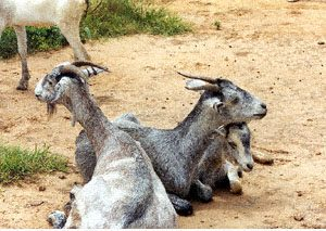 The Local & Exotic Breeds of Goat