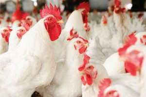 how-to-market-or-sell-your-broiler