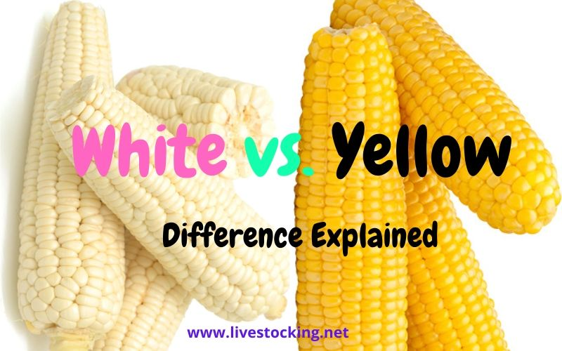 Difference Between White and Yellow Corn / Maize