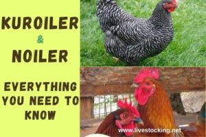 How to Start Grasscutter Farming Business by Akinbobola A. 11 Comments (Edit) Starting Grasscutter Farming Many people want to know how to start a grasscutter / cane rat farming business. However, before going into the details about starting a profitable grasscutter farm, it is important to discuss about grasscutters or cane rats. Grasscutters (Thryonomys swinderianus), also called Cane Rats and Grass Cutter… [Read More] Kuroiler & Noiler Chickens: Facts, Features, Difference & Where to Buy