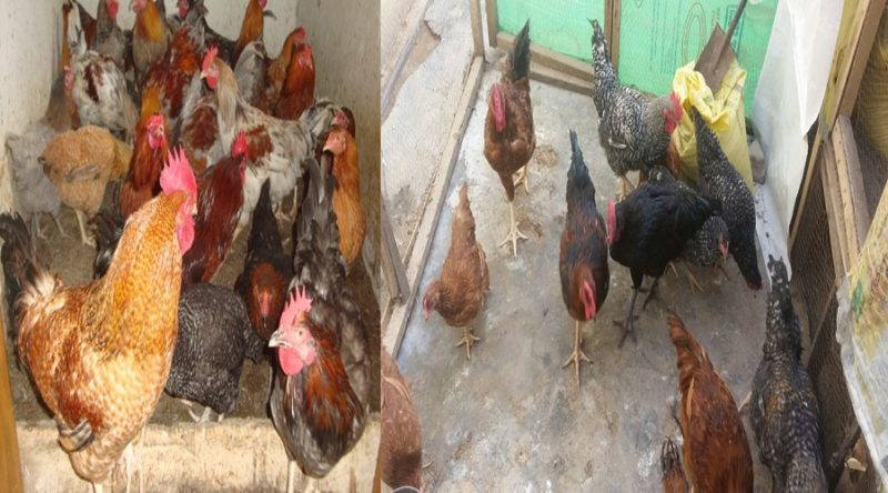 Kuroiler & Noiler Chickens: Facts, Features, Difference & Where to Buy