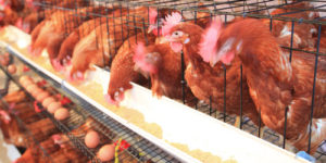 Advantages of Using Poultry Cages & Where to Buy Online