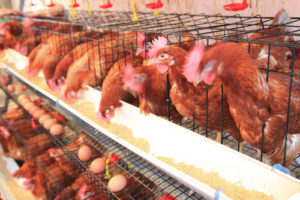 Layers in battery cages
