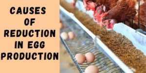 7 Causes of Reduction in Egg Production
