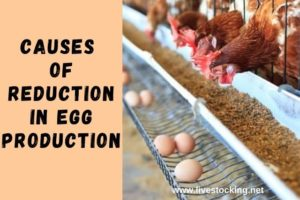 Causes of Reduction in Egg Production