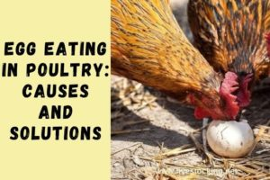 Egg Eating in Poultry