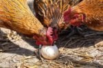 Causes and Cure of Egg Eating in Poultry