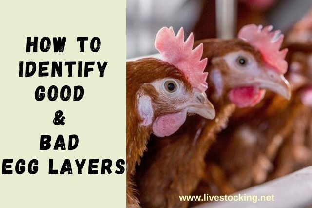 How To Identify Good & Poor Egg Layers