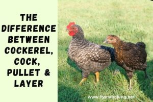 The Difference between Cockerel, Cock, Pullet & Layer