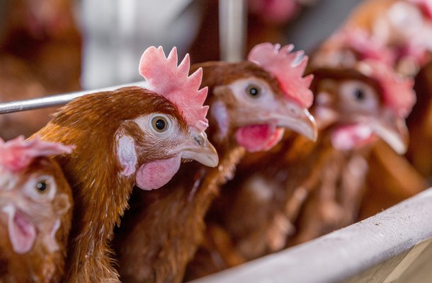 How to Identify good and poor layer chickens (Physical Features)