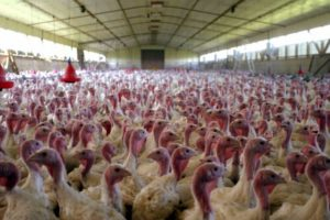 Turkey farm and pen