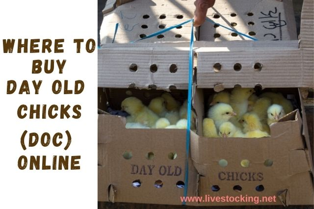Where to Buy Day Old Chicks (DOC) Online in Nigeria