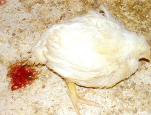 Coccidiosis in Poultry: Signs, Control & Prevention